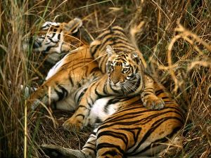 bengal-tigers_10_600x450